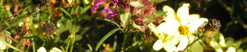 quirlblaettriges-maedchenauge-bluete-hellgelb-coreopsis-verticillata