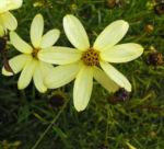 Maedchenauge Blume Bluete hellgelb Coreopsis verticillata 01