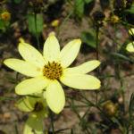 Maedchenauge Blume Bluete hellgelb Coreopsis verticillata 03