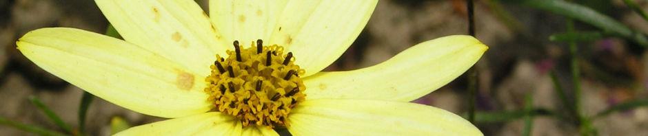 maedchenauge-blume-bluete-hellgelb-coreopsis-verticillata