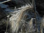 Bild:  Mähnengerste Ähre silber grau Hordeum jubatum