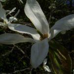Magnolie weisse Blueten Magnolia salicifolia 02