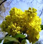 Mahonie Bluete gelb Mahonia aquifolium 06