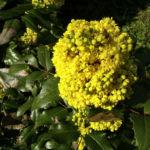 Mahonie Bluete gelb Mahonia aquifolium 08