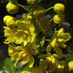 Mahonie Bluete Mahonia aquifolium 01