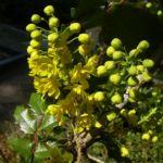 Mahonie Bluete Mahonia aquifolium 02