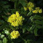 Mahonie Bluete Mahonia aquifolium 04