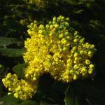 Mahonie Bluete Mahonia aquifolium 05