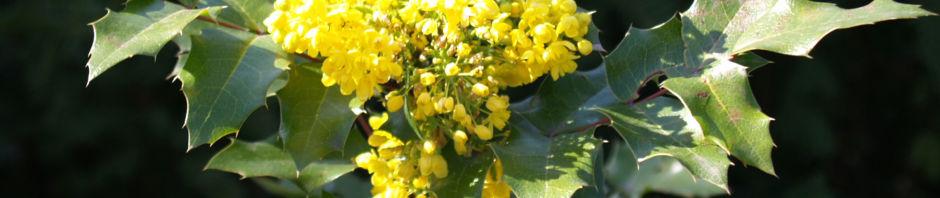 gewoehnliche-mahonie-bluete-gelb-mahonia-aquifolium