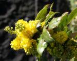 Mahonie Strauch immergruen Blute gelb Mahonia aquifolium 10