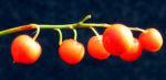 Maigloeckchen Fruechte rote Beeren Convallaria majalis 01