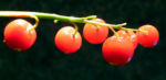 Maigloeckchen Fruechte rote Beeren Convallaria majalis 03