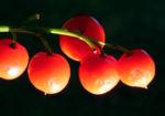 Maigloeckchen Fruechte rote Beeren Convallaria majalis 06