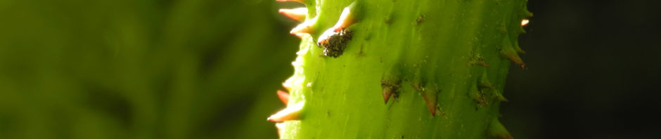 mammutblatt-blatt-gruen-gunnera-manicata