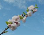 Mandelbaeumchen Bluete weiß rosa Prunus triloba 08