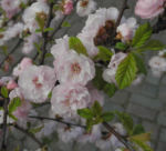 Mandelbaeumchen Bluete weiß rosa Prunus triloba 10