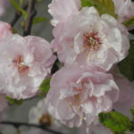 Mandelbaeumchen Bluete weiß rosa Prunus triloba 12
