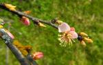 Mandelbauemchen Bluete rosa Prunus triloba 04