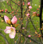 Mandelbauemchen Bluete rosa Prunus triloba 06