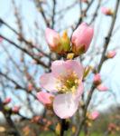 Mandelbauemchen Bluete rosa Prunus triloba 07