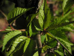 Mandelbaum Blatt gruen Prunus dulcis 07