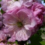 Mandelbaum Bluete rosa Prunus dulcis 01