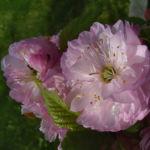Mandelbaum Bluete rosa Prunus dulcis 03