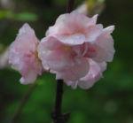Mandelbaum Bluete rosa Prunus triloba 03