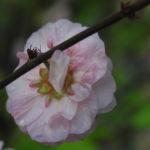 Mandelbaum Bluete rosa Prunus triloba 08