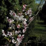 Mandelbaum Bluete weiß rot Prunus dulcis 02