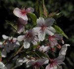 Mandelbaum Bluete weiß rot Prunus dulcis 05