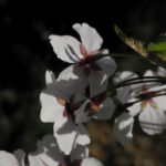 Mandelbaum Bluete weiß rot Prunus dulcis 07