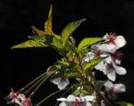 Mandelbaum Bluete weiß rot Prunus dulcis 21