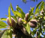 Mandelbaum Frucht gruen Prunus dulcis 05