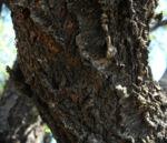 Mandelbaum Rinde grau Prunus dulcis 02