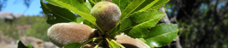 mandelbaum-frucht-gruen-prunus-dulcis