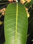 Mango Baum Blatt gruen Mangifera indica 02
