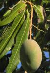 Mango Baum Frucht gruen Mangifera indica 02