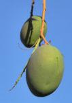 Mango Baum Frucht gruen Mangifera indica 03
