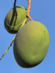 Mango Baum Frucht gruen Mangifera indica 04