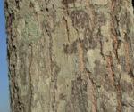 Mango Baum Rinde grau Mangifera indica 04