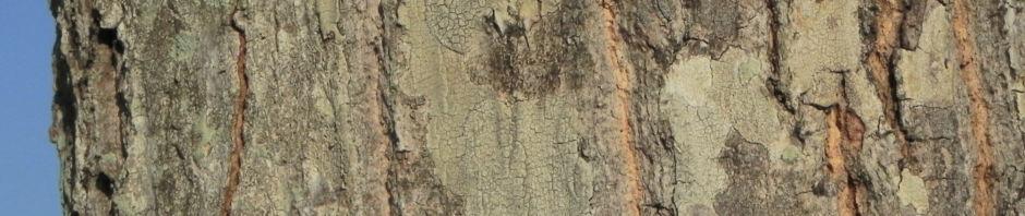 mango-baum-bluete-frucht-blatt-rinde-mangifera-indica