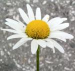 Margerite Gewoehnliche Wucherblume Bluete weiss Leucanthemum vulgare 02