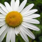 Margerite Gewoehnliche Wucherblume Bluete weiss Leucanthemum vulgare 03