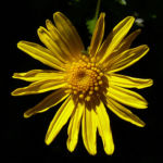 Margerite gelbe Bluete Chrysanthemum 02