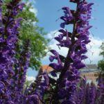 Mehl Salbei Salvia farinacea 02