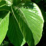 Mehlbeere Sorbus aria 02