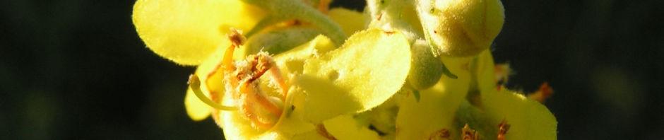 mehlige-koenigskerze-bluetenstand-gelb-verbascum-lychnitis