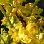 Mehlige Koenigskerze Bluetenstand gelb Verbascum lychnitis 02