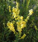 Mehlige Koenigskerze Bluetenstand gelb Verbascum lychnitis 03